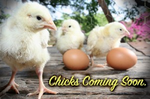 chicks-coming-post