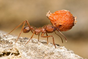 texas leaf cutter ants