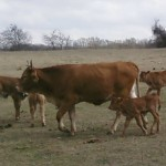 cow calf 150x150 February Featured Items of the Week