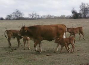 spring calving season