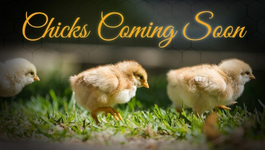 Chicks are Coming!